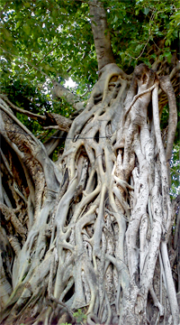 pipal and banyan tree