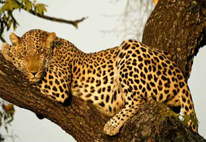 leopard shrewdest cat
